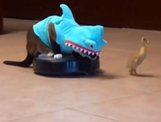 cat shark duck